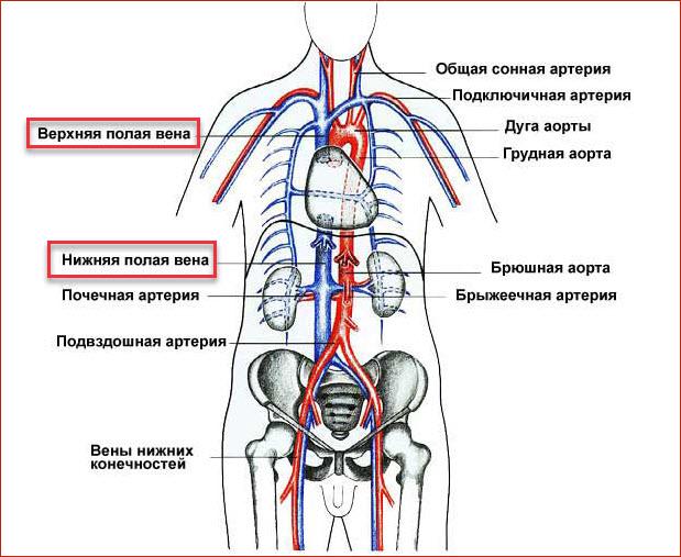 Система верхней и нижней полой вены