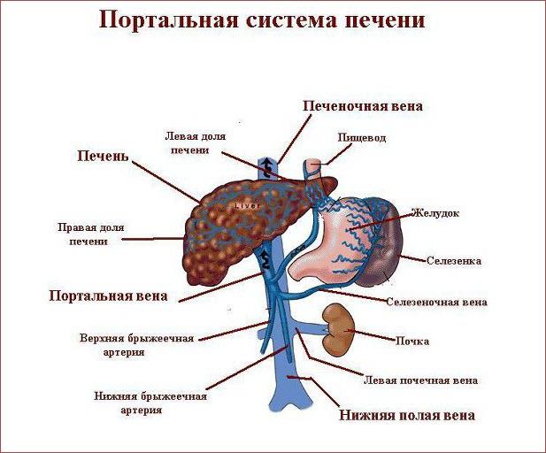 Портальная система печени