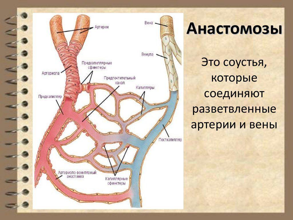 Анастомозы