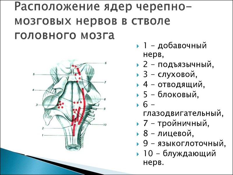Нервы в стволе головного мозга
